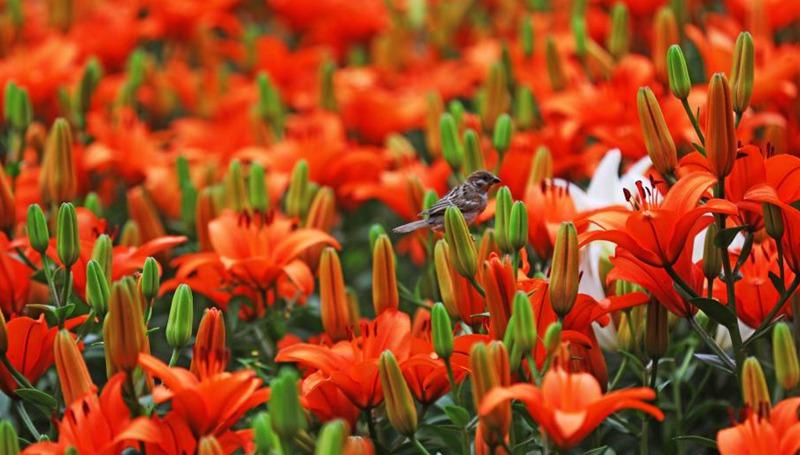 Blühende Lilien im Park in Shenyang
