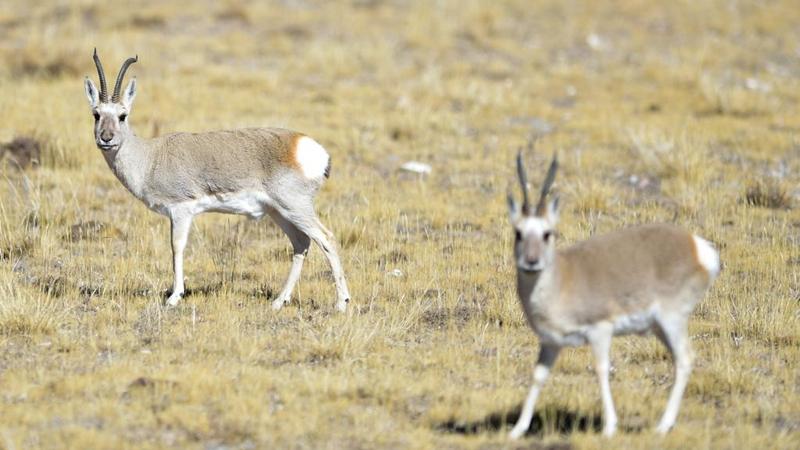 Wildtiere im Sanjiangyuan-Nationalpark in Qinghai